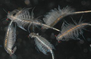 Artemia là gì ?Cách thu hoạch ấu trùng Artemia