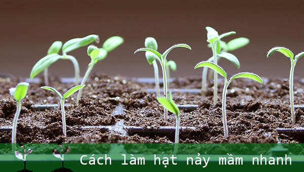 làm hạt giống nảy mầm nhanh