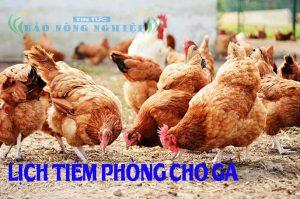 Lịch tiêm phòng cho gà