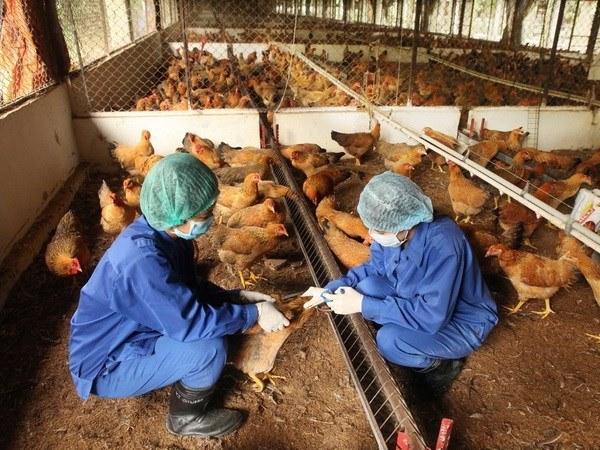 tiêm vaccine cho gà