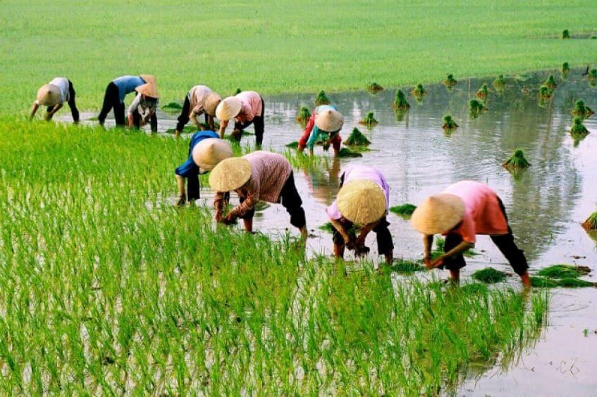 Chia sẻ kinh nghiệm kỹ thuật trồng lúa nước 1